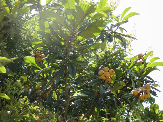 びわの葉エキス効能,びわの葉化粧水,びわの葉 エキス,びわの葉 美肌,びわの葉 化粧水 手作り,びわの葉 飲み方,びわの葉 ローション,びわの葉 ローション 作り方,