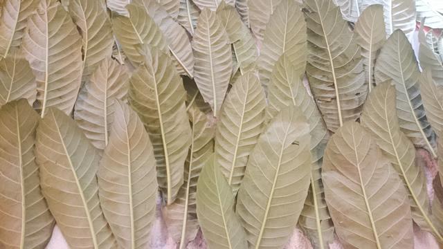 びわの葉エキス効能,びわの葉 エキス 作り方,びわの葉 口コミ,びわの葉 焼酎,びわの葉 焼酎 効能,びわの葉 焼酎漬け 作り方,ビワの葉 保存方法
